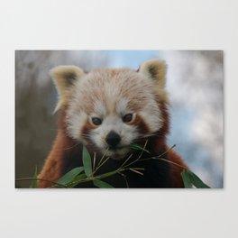 Beautiful Red Panda Canvas Print