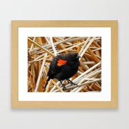 Juvenile Male Redwing Blackbird Framed Art Print
