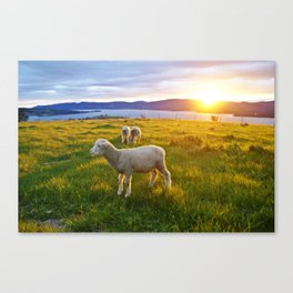 Lambs in the sunset Canvas Print