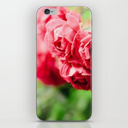 Buds of tea roses hanging in clusters on bushes iPhone Skin