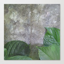 Urban Plant hydrangea leaves on concrete wall Canvas Print