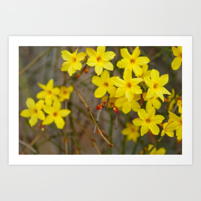 Winter Jasmine Or Jasminum Nudiflorum Deciduous Shrub Blooming With