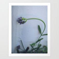 Lavender  Art Print