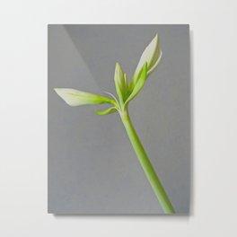 Amaryllis bud | Flower photography Metal Print