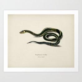 Grass Snake (Tropidonote á Collier) illustrated by Charles Dessalines D' Orbigny (1806-1876) 2 Art Print