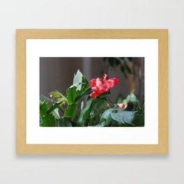 Christmas cactus Framed Art Print