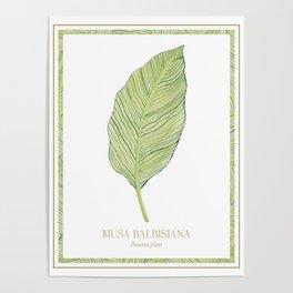Botanical Print - Musa Balbisiana - Banana Plant Leaf Poster