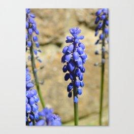 Muscari Grape Hyacinth Canvas Print