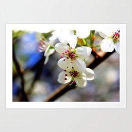 Callery Pear Blossoms Art Print