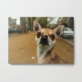 Four eyed Chihuahua?! Metal Print