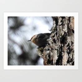 Brown-Headed Nuthatch Art Print