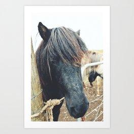 Icelandic Horse - Iceland Art Print