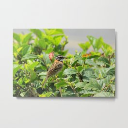 Rufous Collared Sparrow on a Bush Metal Print