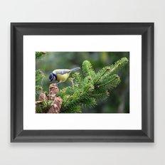 Blue Tit  (Cyanistes caeruleus) Framed Art Print