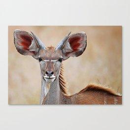 Young Kudu, Africa wildlife Canvas Print