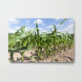 corn agricultural field Metal Print