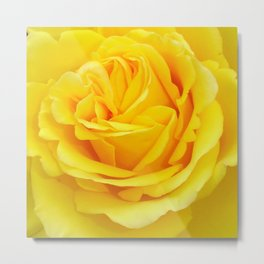 Beautiful Yellow Rose Closeup Metal Print
