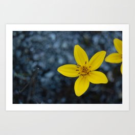 Wild Flowers on Cerro Chirripó, Costa Rica Art Print
