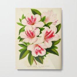 Azalea Indica Vintage Botanical Floral Flower Plant Scientific Illustration Metal Print