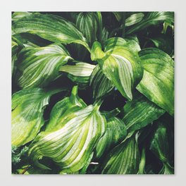 Hosta Canvas Print