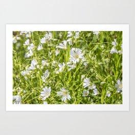 White Anenomes Art Print