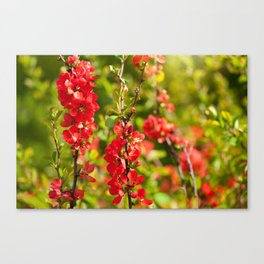 Chaenomeles shrub red flowering Canvas Print
