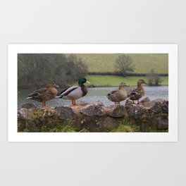 Ducks! Art Print