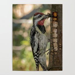 Sapsucker with bugs Poster