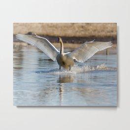Swan Landing at Creamers Field Fairbanks Alaska Metal Print