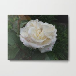 WHITE ROSE FLOWER WITH FRESH WATER DROPS   Metal Print