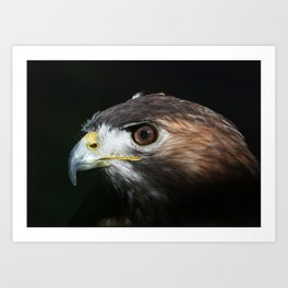 Sparkle In The Eye - Red-tailed Hawk Art Print