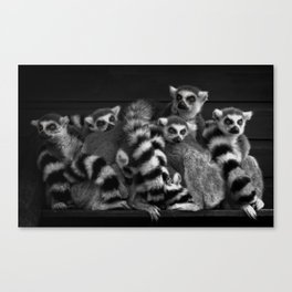 Gang Of Ring-Tailed Lemurs Canvas Print