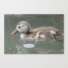 duckling at lake Canvas Print