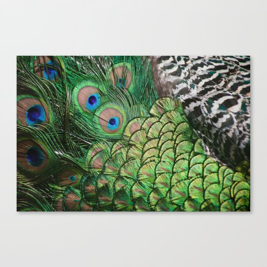 Pavo cristatus feathers Canvas Print