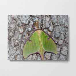 luna moth 2016 II Metal Print