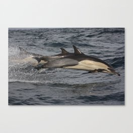 Common Dolphin flying through the air.  Canvas Print