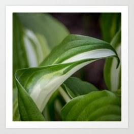 Wavy plantain lily leaves outdoors macro with blurred background Art Print