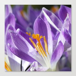 Violet spring crocus Canvas Print