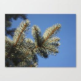 All spruced up and still blue - Blue spruce, blue sky 1564 Canvas Print