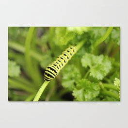 Parsley Caterpillar Canvas Print