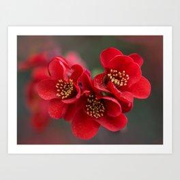 Red Chaenomeles flowers Art Print