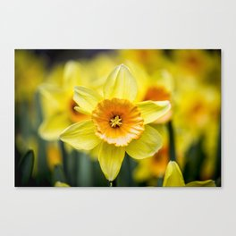 Closeup of a Bright Yellow Daffodil Flower in the Spring in Amsterdam, Netherlands Canvas Print