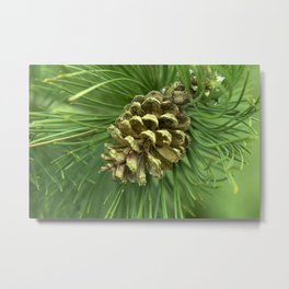Close Up Pinus Heldreichii Tree  Metal Print