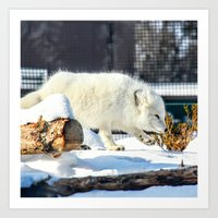 Arctic Fox 2 Art Print