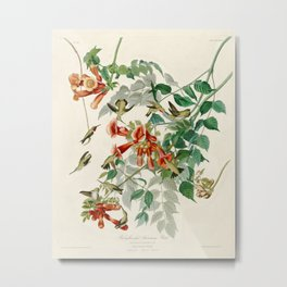 Ruby throated Humming Bird - Audubon's Print Metal Print