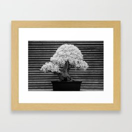 A Bonsai Olive Tree Thrives in a Japanese Garden Framed Art Print