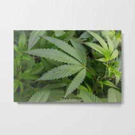 Pot Leaf on a Plant Metal Print