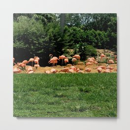Flock of Flamingos Metal Print