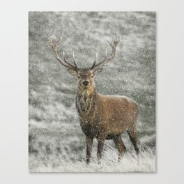 Red Deer Stag in Snow Canvas Print