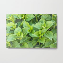 Garden of hydrangeas plants Metal Print